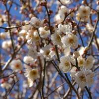 北公園の梅咲き始める・ジョウビタキは跳び回る