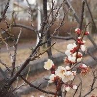 枝キャンプ場の白梅
