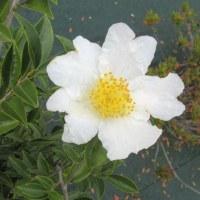 山茶花が咲いていた