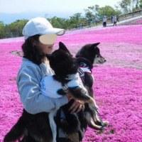 茶臼山 2017 芝桜 2