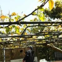 梨の花満開