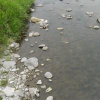 鮎釣り。碓氷川の様子を見に行きましたが…