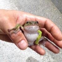 ��ƻ9��¾10�� �����Ų��� ������ #kaeru #frog #������
