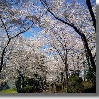桜 満開になりました ♪♪