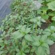 トマトを大量消費と貸農園の様子