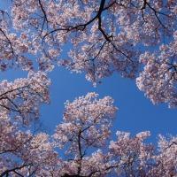 満開の桜と広葉樹MIX
