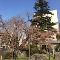 石割桜2017~3分咲き