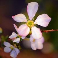 小米桜(コゴメザクラ)その5。