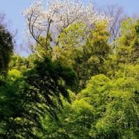 所沢滝の城址公園のラッパスイセン