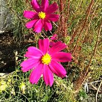 菊の花が咲いた