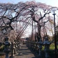 3年目の枝垂れ桜
