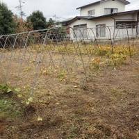 ギンボ畑、草取り完了