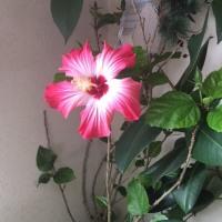 ハイビスカスの花🌺