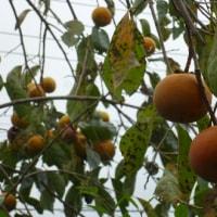 「チビ」ちゃ-ん。柿の実が実っているよ~