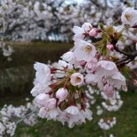 御所の台ふれあいパーク桜開花状況(H29.4.20)