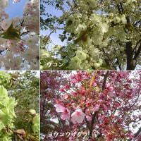 黄緑色の桜「御衣黄」と
