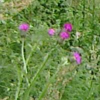 桐の花と鬼アザミ