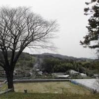 長沢「月光桜」まだまだ蕾0323