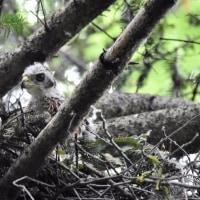 6/18各地の猛禽のヒナたちが育ちざかりです。「オオタカ」