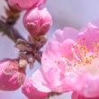 花桃とチューリップとモクレン