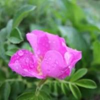山裾に 篠突く雨や花哀し 希の雨も一喜一憂
