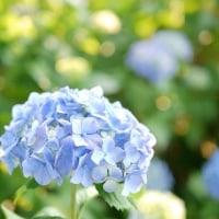 紫陽花と花菖蒲と・・・