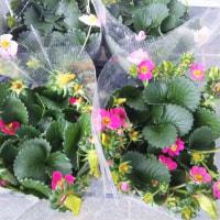 オーストラリアのハーデンベルギア、大きなイチゴの苗、ディモルフォセカ、透明に光るハオルチア!明日と日曜に販売します!