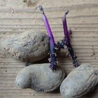 ジャガイモの芽と畑の記録