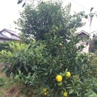 柚子  色づく