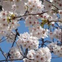 春の京都はイベント満載! 2016