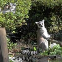 ワオキツネザル 千葉市動物公園 2012年8月