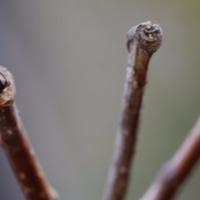 コクサギ(ミカン科)落葉低木  キハダ(ミカン科)落葉高木  の冬芽