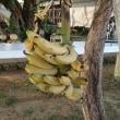 バナナ豊作!