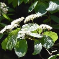 林内にコバノガマズミの花