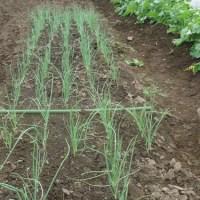 タマネギの苗作りと植えつけ準備