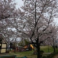 近所の桜2017
