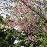ひとつの木に白とピンクの花が咲くはなもも♫