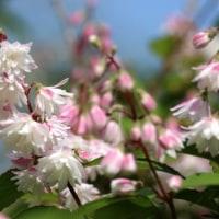 ウツギの花・・・散歩道の風景