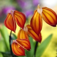 蘭 (花 4256)