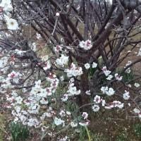 <梅は もう咲いてる。。。。>