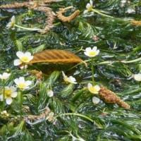 京都府立植物園で絶滅『梅花藻』が復活