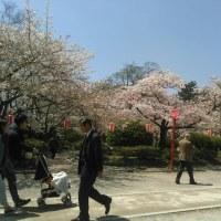 お袋退院と和歌山城の桜! えっ!忍者!! (^◇^;