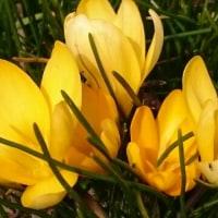 クロッカス、咲いていました。
