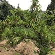 桃畑に行く