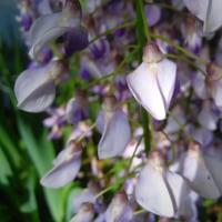 5月1日から鶴形山の阿智神社・阿知の藤広場で県天然記念物・阿知の藤を楽しむ『藤祭り』が始まりますよ。