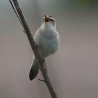 今日の鳥 コヨシキリ モズ