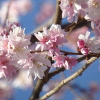 梅~早咲きのさくら・春一番