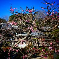 『梅たより』 地福寺