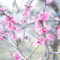 梅の季節は炭酸飲料?…ですぅ