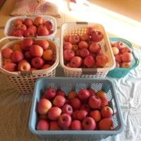 信州りんごは今が旬